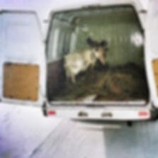 Una capra in un van