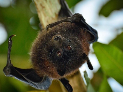 PhD top up available: Using quantitative techniques to conserve the Christmas Island flying-fox