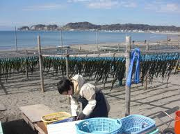 Drying Wakame in Japan