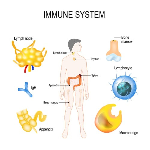 The Immune System Anatomy