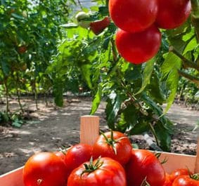 ripe tomatoes in greenhouse