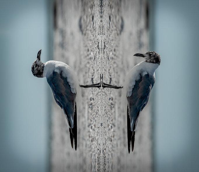 Gaviotas - Birds Series