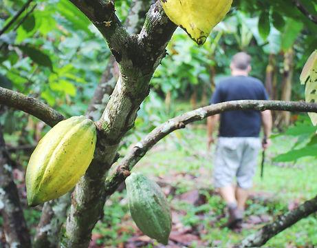 Cacao farm in Talamanca, Costa Rica