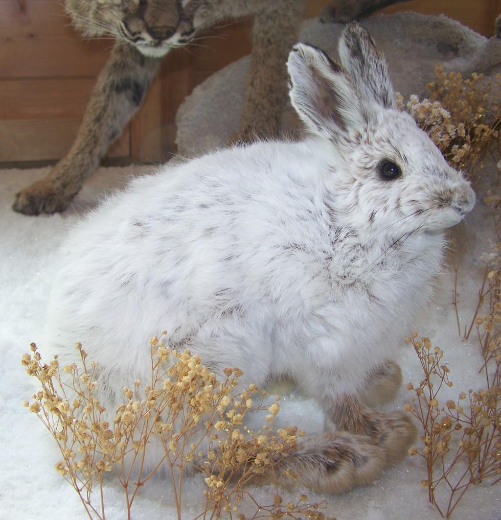Snow Shoe Rabbit