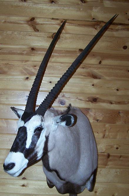 Gemsbuck/Oryx