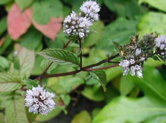 Peppermint stems and flowers
