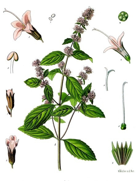 Botanical drawing of Peppermint