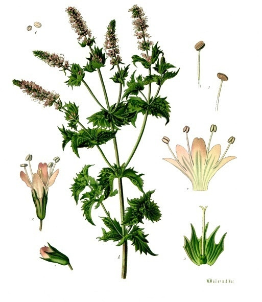 Botanical drawing of Spearmint