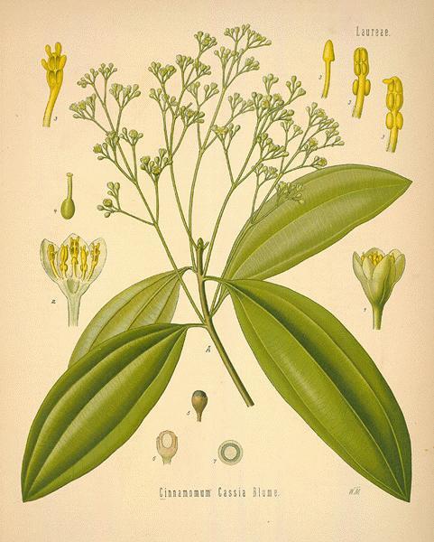 Cinnamomum Cassia - Saigon Cinnamon