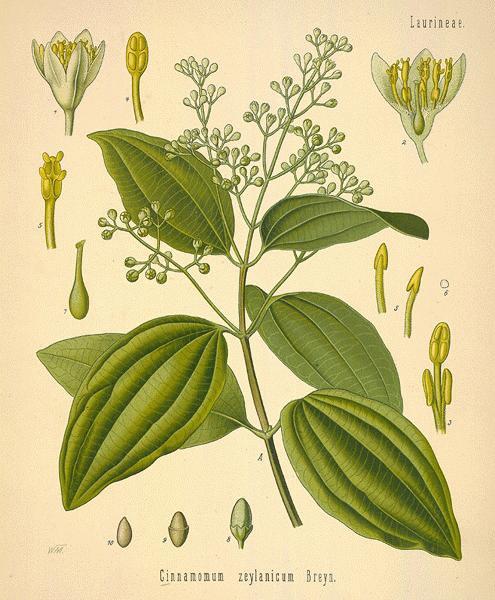 Cinnamomum  Verus - Ceylon Cinnamon