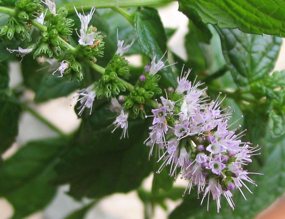 Spearmint flowers