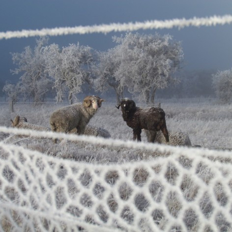 Merino sheep on a cold morning