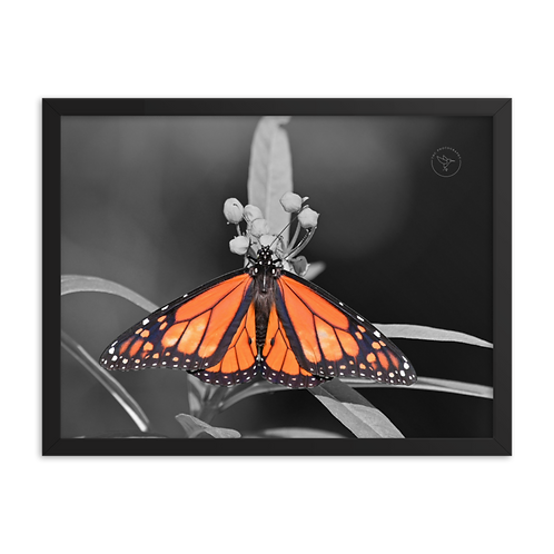 """Monarch"" by TNC - Framed poster"