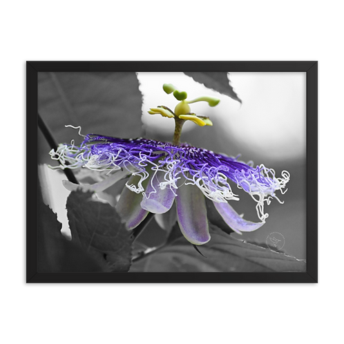 """Passion Flower"" by TNC - Framed poster"