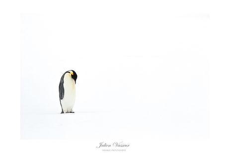 Solitude (Manchot Empereur)