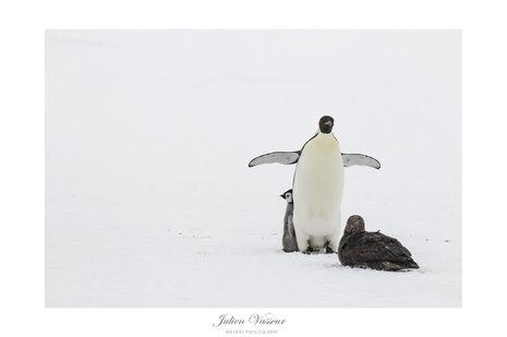 Manchot Empereur-Pétrel Géant Antarctique