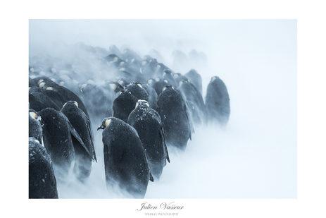 Marche dans le blizzard (Manchot Empereur)
