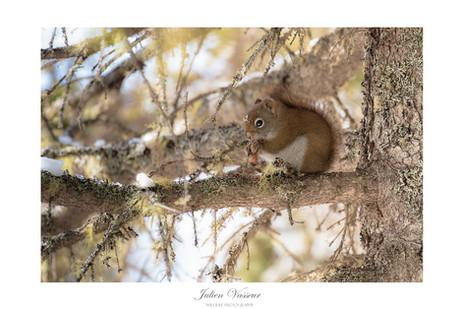 Ecureuil roux Américain