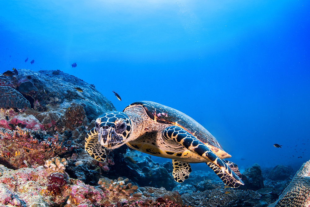 Sea turtles hold their breath when they dive underwater to feed.