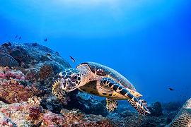 Черепаха в рифе
