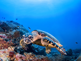 Sea Turtles & Coral Reefs