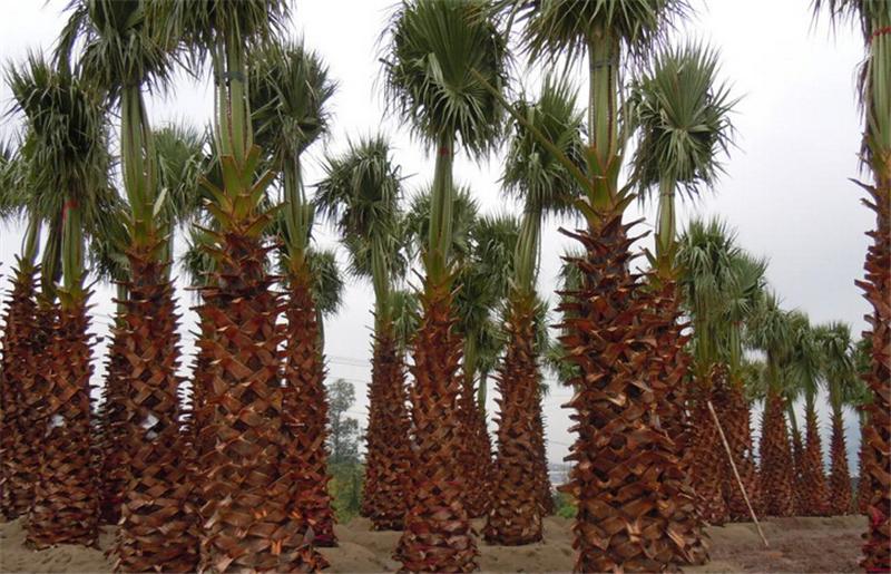 Real-Chinese-Dictionary-tree-seeds-indoor-Bonsai-Washingtonia-filifera-Outdoor-Foliage-Plants-countr