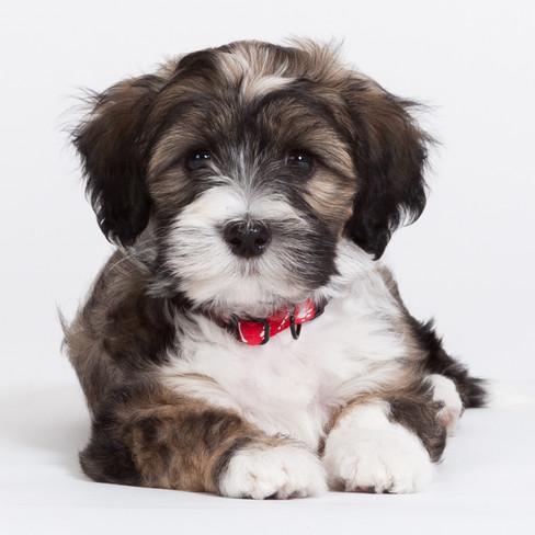 Puppie Bruno