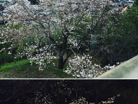 🌸桜が咲きました