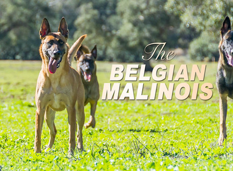 The Belgian Malinois Should NOT Be the Latest Pet Craze!