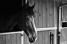 monochrome-photo-of-horse-2642332.jpg