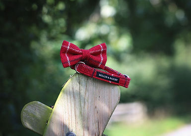 red dog collar and bow tie.jpg