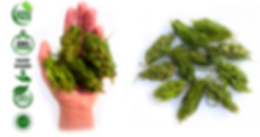 Hemp Buds rich in CBD CBG and othe canabinoids. Hemp Tea. Organic Hemp Buds. Hemp flowers. Crushed hemp. Felina Futura Hemp flowers. Hemp kief. Fermented hemp tea. CBD oil