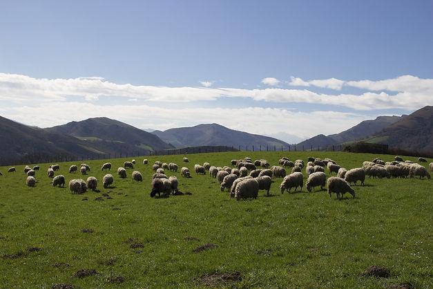 sheep-1455124_1920.jpg