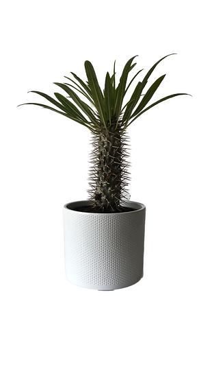 Pachypodium o Palma del Madagascar