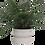 Thumbnail: Asplenium parvati