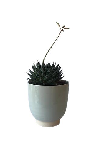 Aloe zambezi