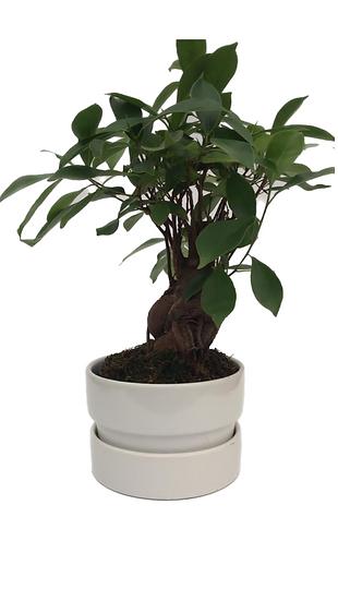 Ficus nitida piccolo