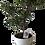 Thumbnail: Bonsai azalea