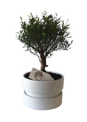 Bonsai syzygium