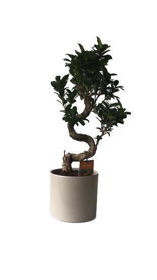 Bonsai Ficus nitida