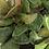 Thumbnail: Adromischus cristatus