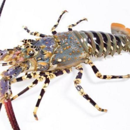 Live & Frozen Spiny Lobster (Panulirus Ornatus)