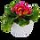 Thumbnail: Primula (9 cm)