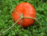 gyógynövény stévia stívia