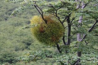Gyügynövény stévia, stívia