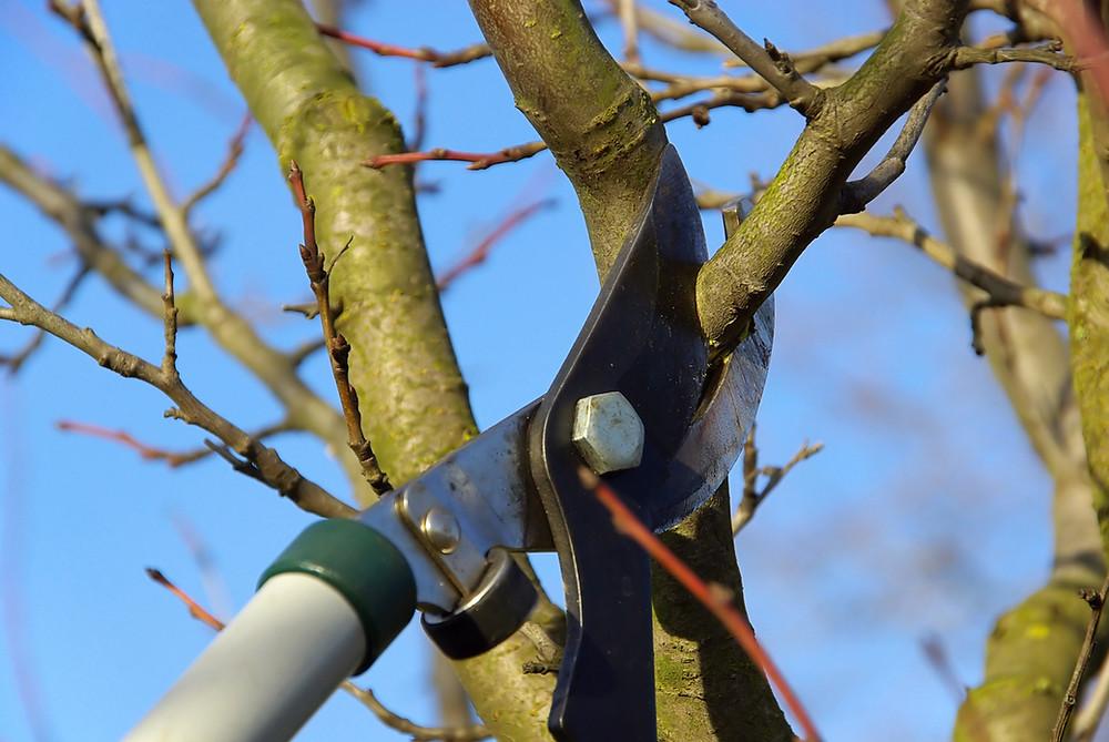 Dormant Pruning