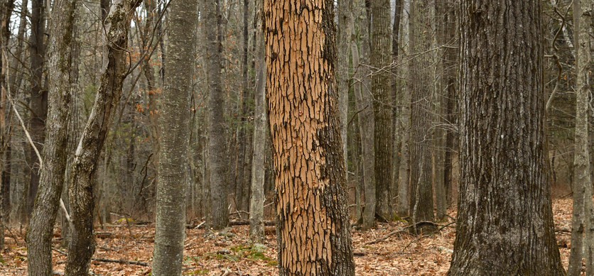 Forest-tree-with-signs-of-woodpeckers-at
