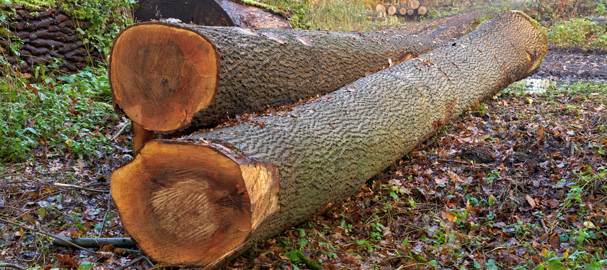 Forestry-and-logging.-Two-ash-tree-logs.
