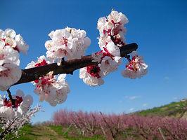 fiore albero albicocche