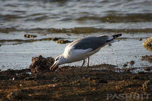 Sea gulls at Mono Lake eating Alkali flies